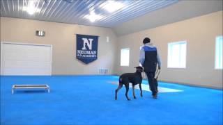 Keno (doberman Pinscher) Trained Dog Video