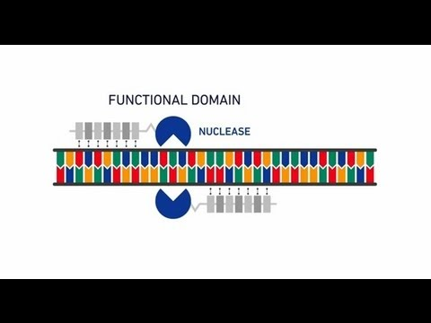 Genome editing with GeneArt® Precision TALs