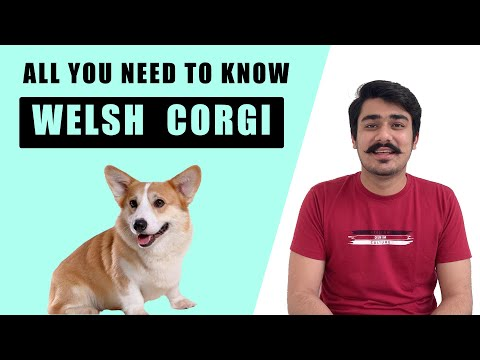 Corgi Dog Welsh Puppy