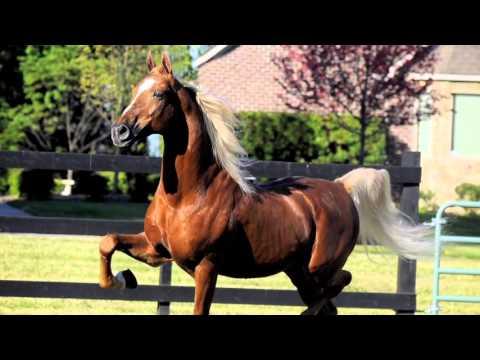 American Saddlebreds: America's Spirited Beauty