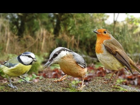 Videos for Cats To Watch – Birds in December ( Including A Female Bullfinch )
