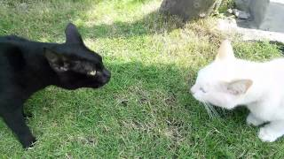 cat fight up close stare down between black and white