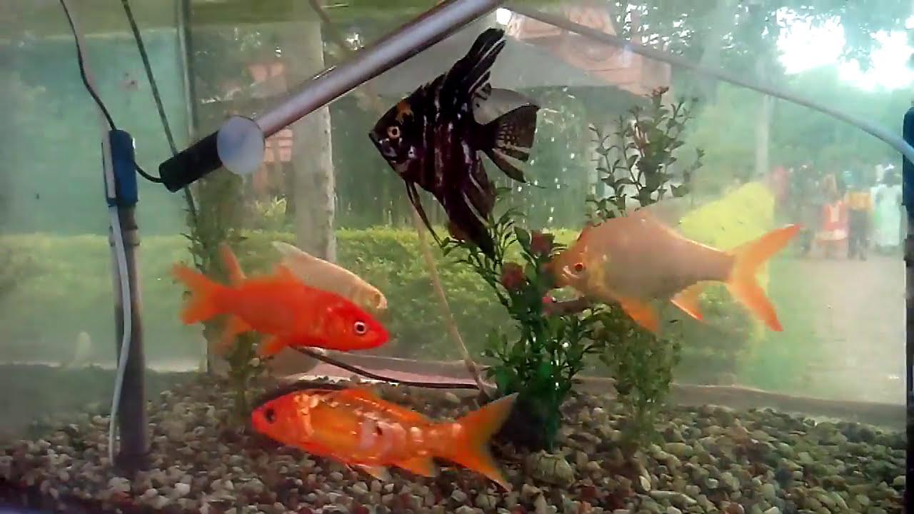 Bangla Beautiful Aquarium Fish Sintu Youtube