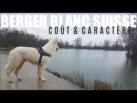 AVOIR UN BERGER BLANC SUISSE | Coût & Caractère