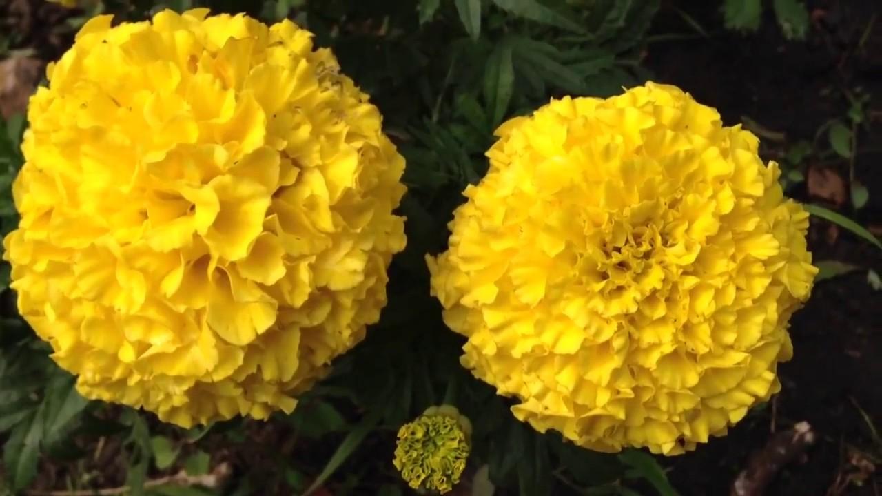 Yellow marigold flowers blooming in garden marigold gardening yellow marigold flowers blooming in garden marigold gardening worldgardeners mightylinksfo