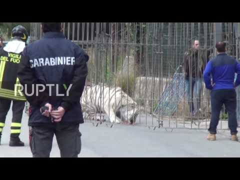 Italy: Escaped circus tiger recaptured by armed police in Monreale