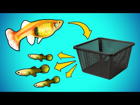 DIY Fish Fry Trap You Can Make In Less Than 10 Minutes [DIY]