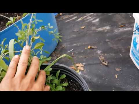 How to Grow Goji Berries, Berry fruits in Florida and Hot summer Weather