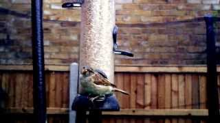 House Sparrow Has A Problem At The Bird Feeder