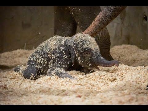 Elephant Calf's First Week