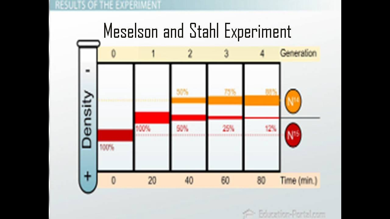 meselson stahl experiment The meselson–stahl experiment was an experiment done by matthew meselson and franklin stahl in 1958, using e coli dna with their experiment, the two scientists could show that dna replication was semiconservative.