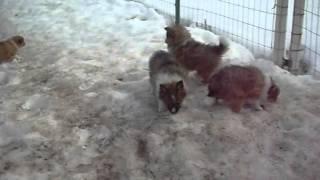 Poshie Puppies! Pomeranian Sheltie Mix Pups At 6 Weeks