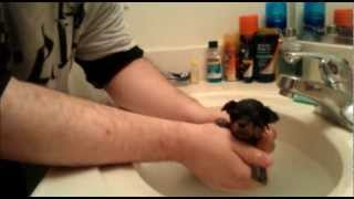 Dannypups.com - Puppy Video Log 5 -  11/18/2012 - Yorkshire Terrier Puppies - First Bath