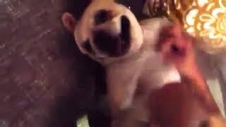 Funny Ticklish French Bulldog Laughing
