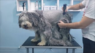 Shaving A Matted Bearded Collie