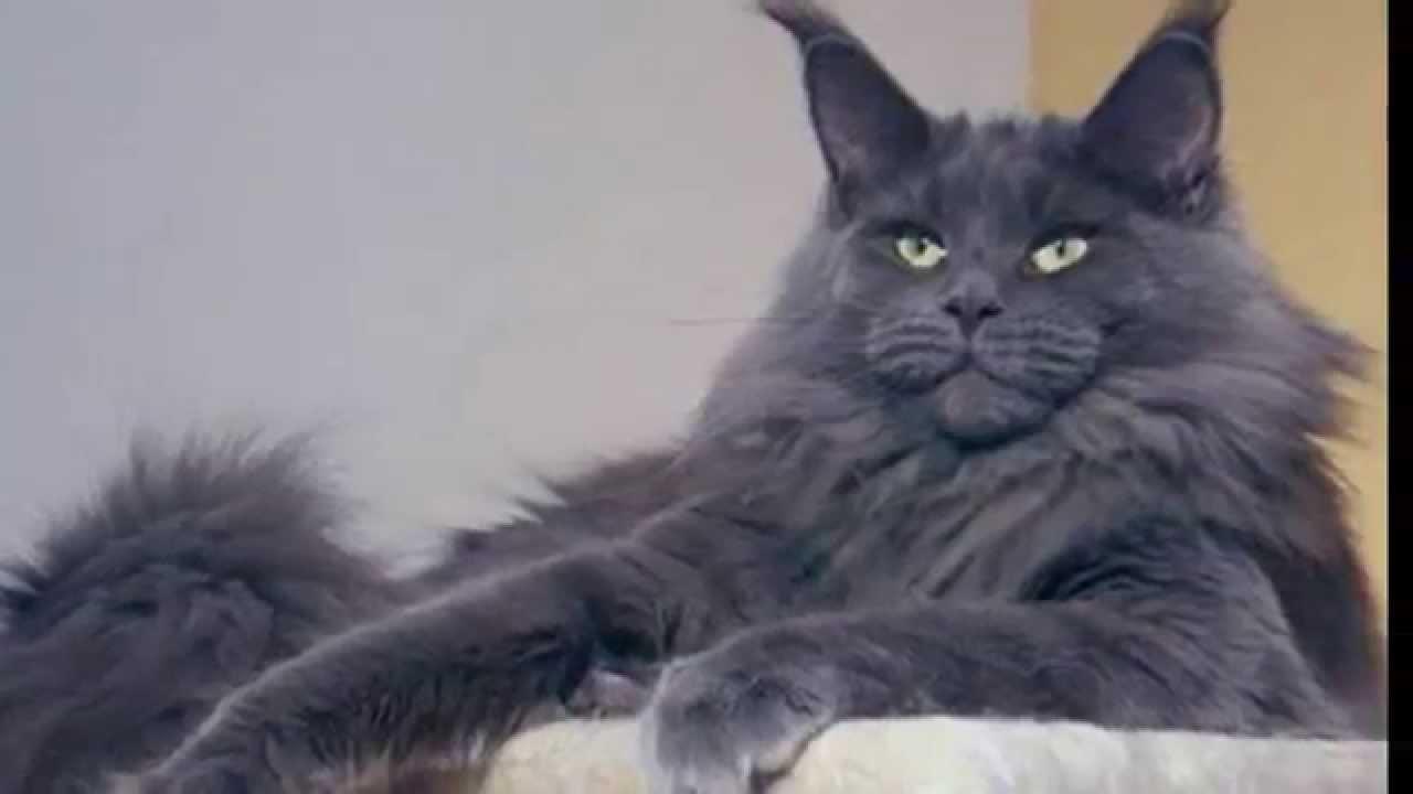 Купить котенка в екатеринбурге в любое время можно именно питомнике. Питомник «mary cat» занимается разведением мейн кунов и британских.