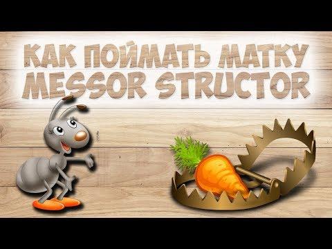 как поймать муравьиную королеву матку Messor structor