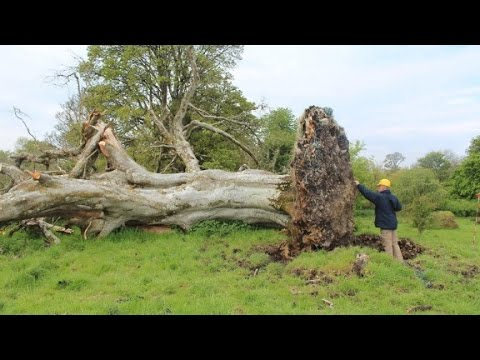 Uprooted tree reveals a violent end of life from 1,000 years ago