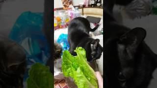 Коты едят салат