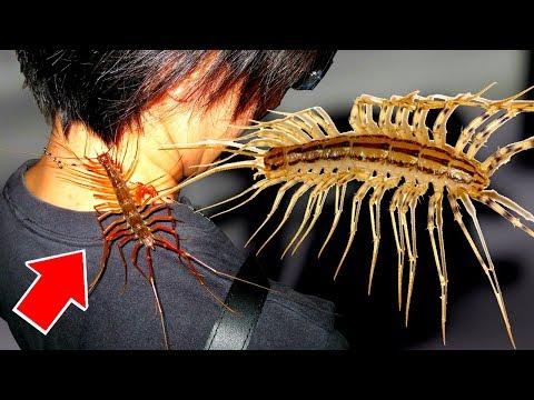 Почему НЕЛЬЗЯ убивать МУХОЛОВКУ, 10 фактов о мухоловке, или домашняя многоножка