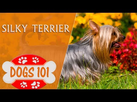 Dogs 101 - SILKY TERRIER - Top Dog Facts About the SILKY TERRIER