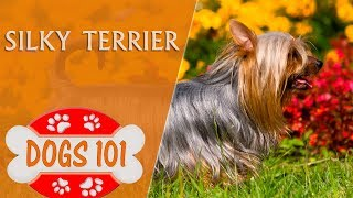 Dogs 101  SILKY TERRIER  Top Dog Facts About the SILKY TERRIER