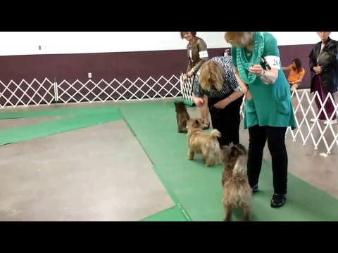 Widget Wins Best of Cairn Terrier Breed Sunday May 14, 2017