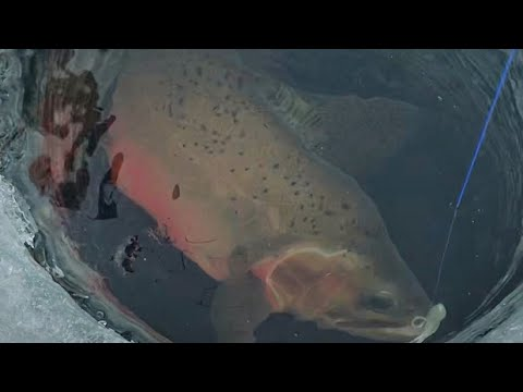 Alberta Ice Fishing For Cutthroat Trout