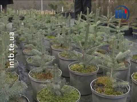 Телеканал ІНТБ: Тернополяни можуть придбати легально вирощені ялинки