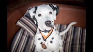 Hippo - Dalmatian Puppy - 2 Weeks Residential Dog Training