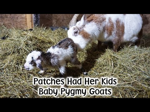 Patches Pygmy Kid Goats Arrive!