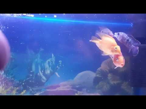 Fighter Fish Fight   Trying To Kill   Green Terror VS Fire Mouth   YJ