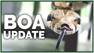 my-neglected-22-year-old-boa-constrictor-1-year-later