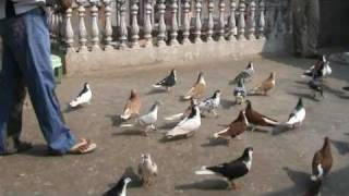 MAQBOOL BHAI  PIGEONS SHERAZI SHIRAZI INDIAN