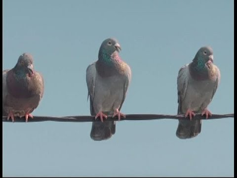 Funny Commercial – Geico Birds