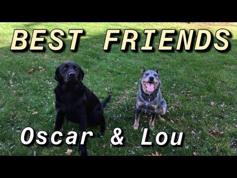 Blue Heeler & Black Lab are Best Friends!