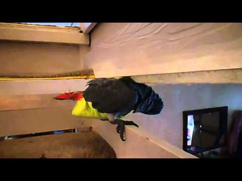 African Grey Parrot Jerry 001
