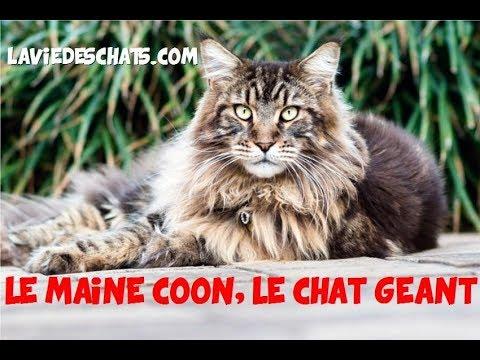 Maine Coon Le Géant Des Chats 🐱