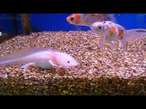 Baby White Axolotl (Water Dragon)