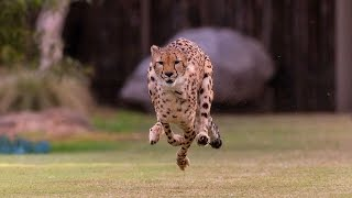 Cheetah & Puppy Pal Run Together
