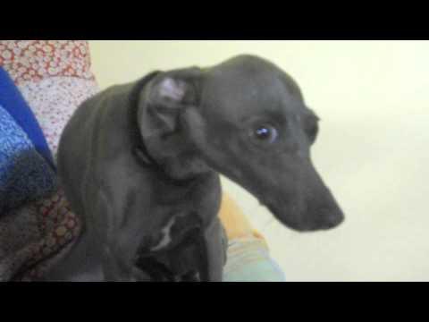 Italian Greyhound Getting Angry