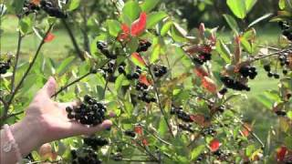 WPT The Wisconsin Gardener - Aronia- A Hardy Superfruit