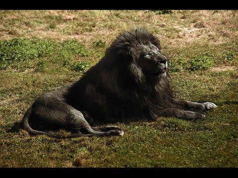 Afbeeldingsresultaat voor black lion