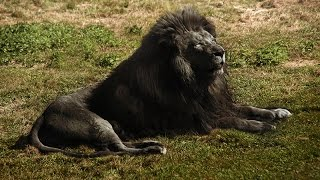 Black Lion and Most Strange, Weirdest and Rarest Animals in the World Real Pictures