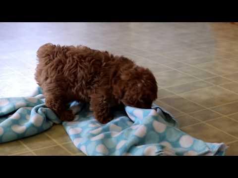 Morkiepoo Puppies for Sale