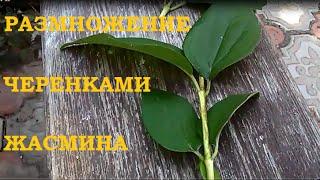 Размножение черенками жасмина.(Как размножать черенками жасмин и другие декоративные кустарники. Все о цветах , рассаде, урожае и способах..., 2016-07-06T16:33:34.000Z)