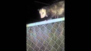 Guy talking shit to a opossum