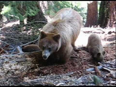the 'dog man' and grizzly man crossing More: i just witnessed a man chasing a grizzly john waller, a glacier-based national park service wildlife biologist, said it's not unusual for bears to swim bears are good swimmers, he said.