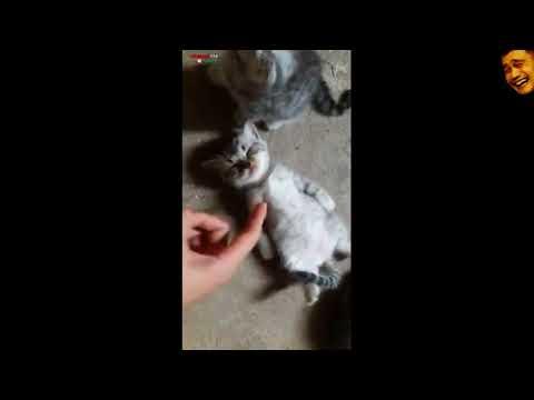 Kucing Pura-pura Pingsan, lucu minta ampun