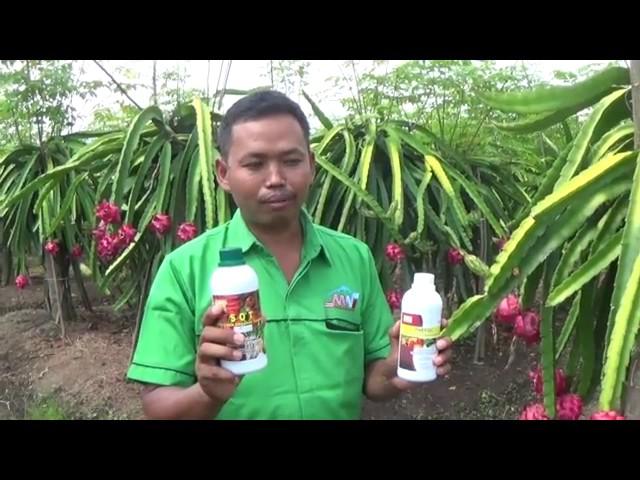 Buah Naga Hayatudin Banyuwangi full organik HCS, buahnya manis, sehat dan montok,